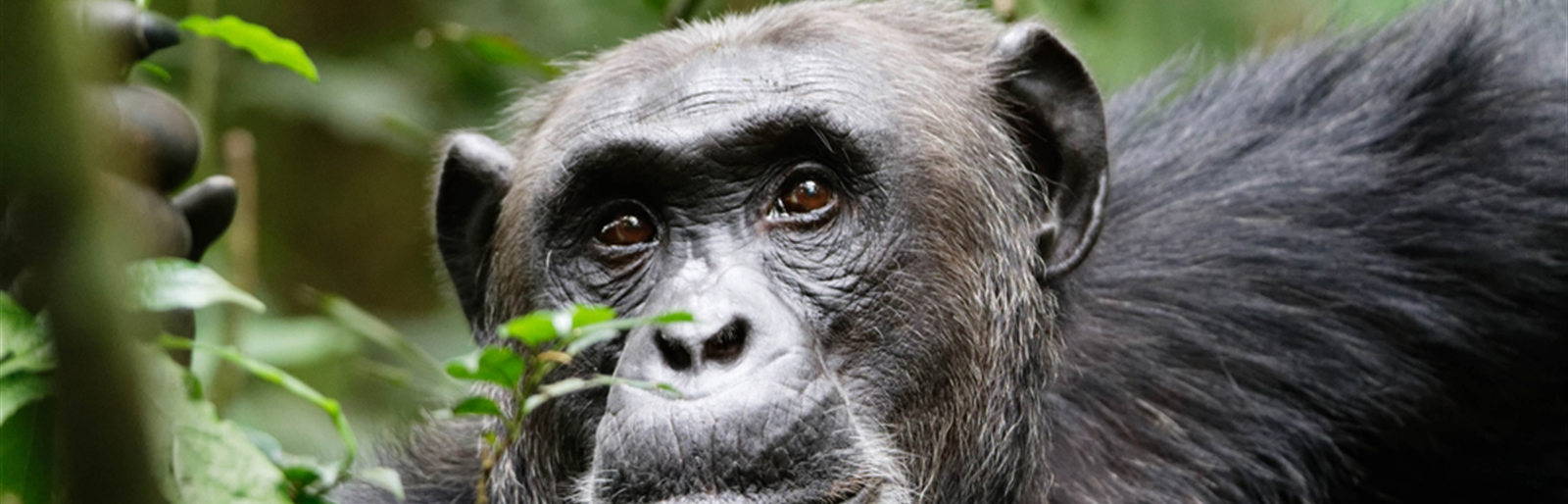 Chimpanzee tracking in Kibale National Park Uganda