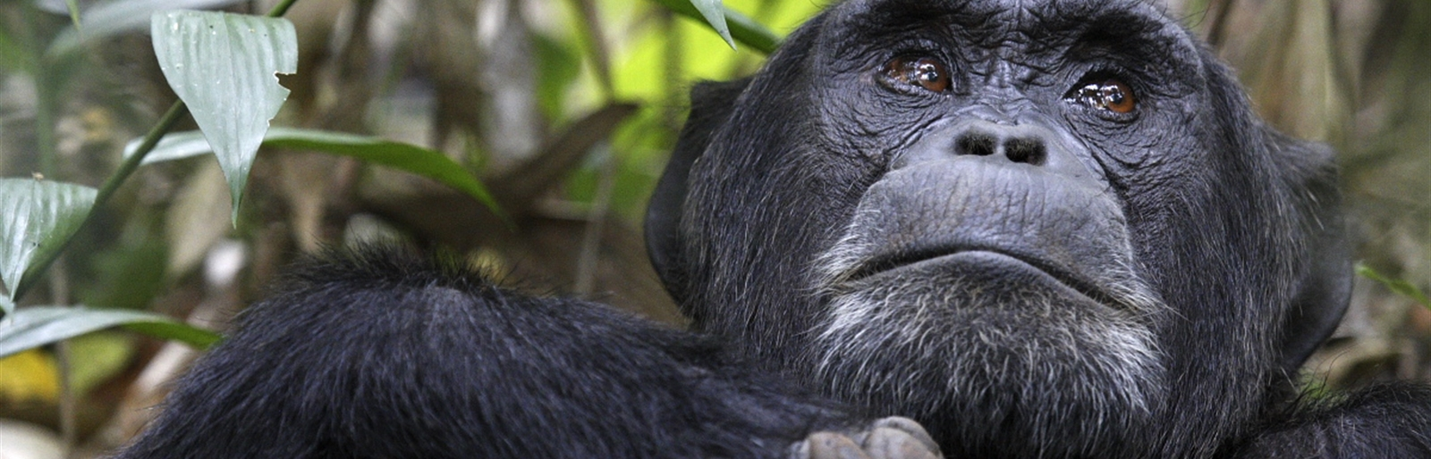 Our Closet living relatives 96% same DNA genes chimpanzees in Kibale Forest National Park - Uganda