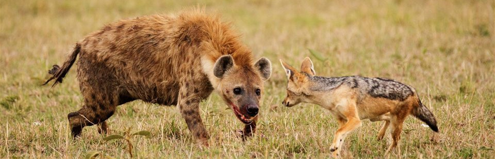 Common Hyena in most of the East African Game Parks
