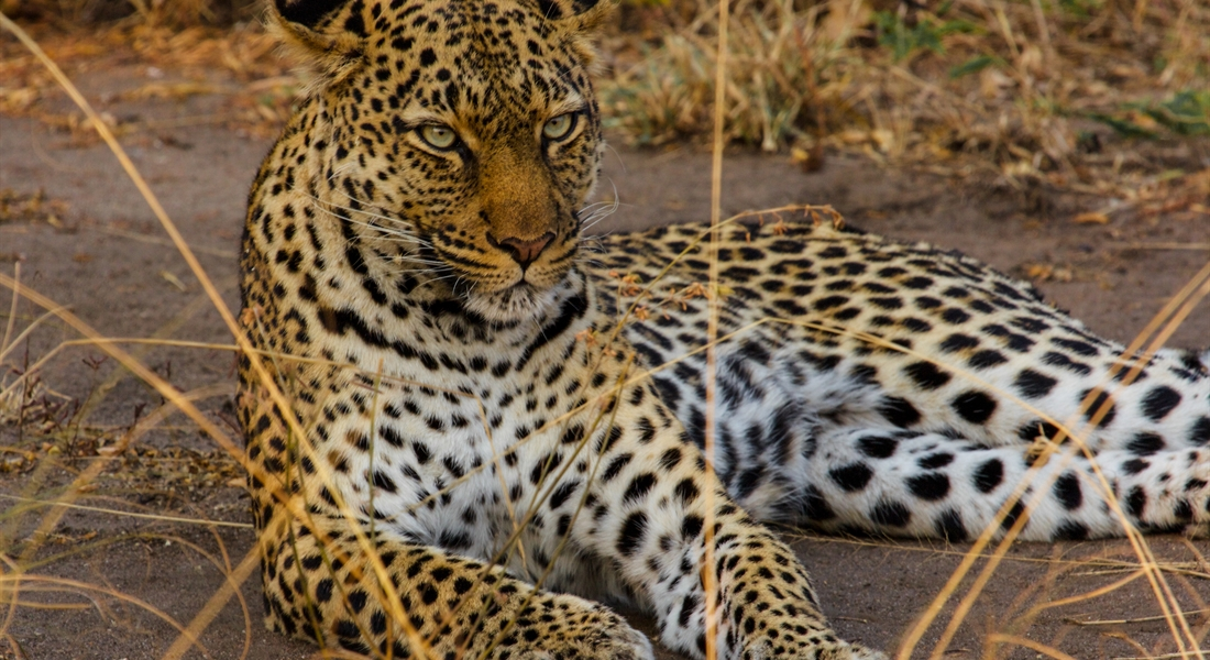 Leopard in Queen Elizabeth NP