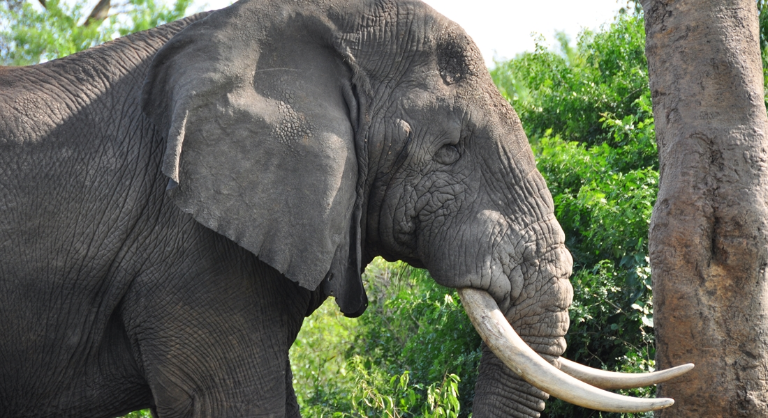 Elephant in Murchison Falls NP
