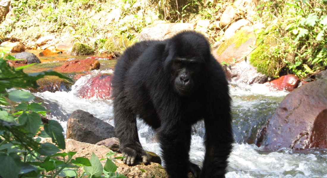 Gorilla by the river in Bwindi