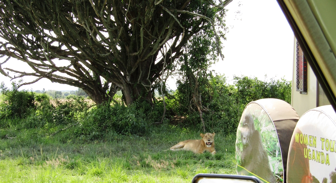Lion very close to our Land cruiser