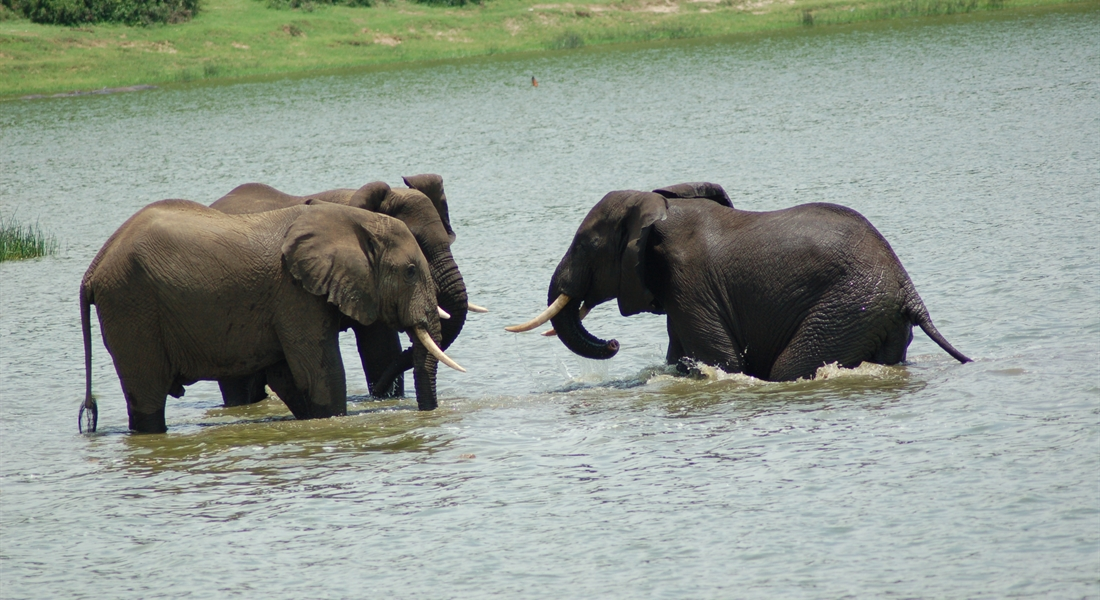 elephants in River Nile