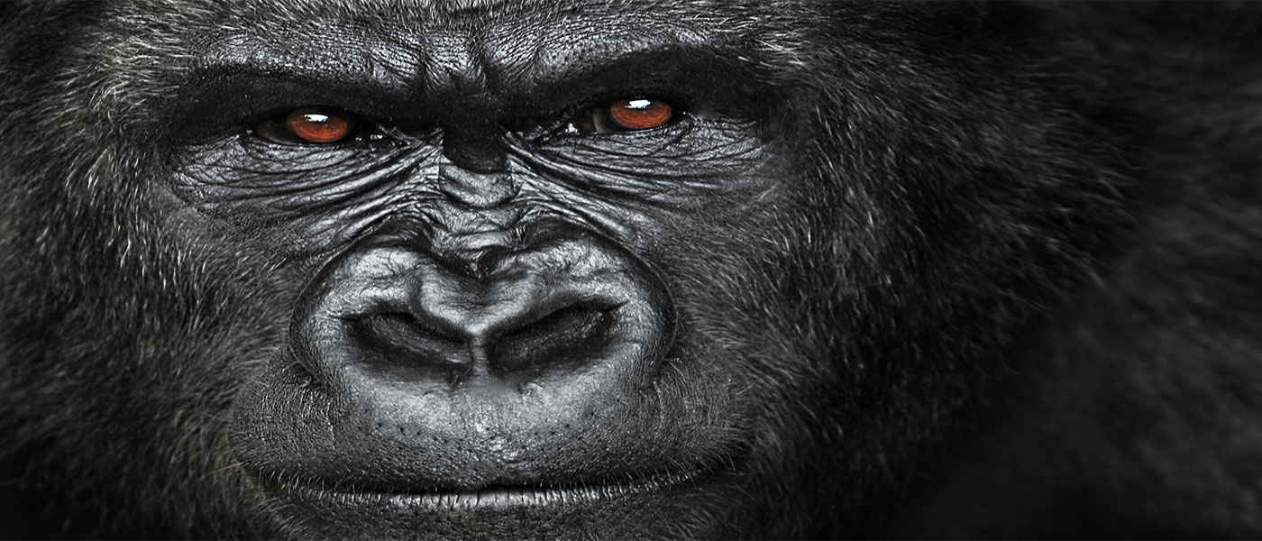 Gorilla up close
